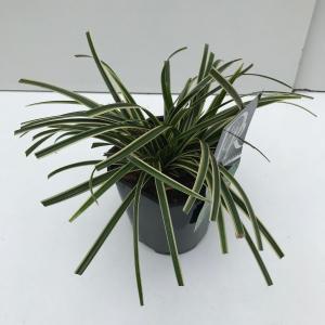 Zegge (Carex morrowii Ice Dance) siergras - In 2 liter pot - 1 stuks