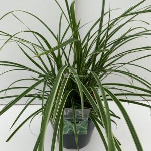 Zegge (Carex morrowii Ice Dance) siergras - In 5 liter pot - 1 stuks