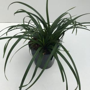 Zegge (Carex Irish Green) siergras - In 2 liter pot - 1 stuks