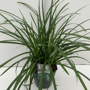 Zegge (Carex Irish Green) siergras - In 5 liter pot - 1 stuks