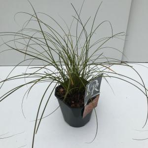 Zegge (Carex testacea Prairie Fire) siergras - In 2 liter pot - 1 stuks