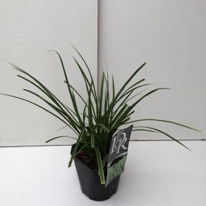 Zegge (Carex morrowii Variegata) siergras