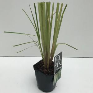 Pampasgras (Cortaderia selloana Pumila) siergras - In 2 liter pot - 1 stuks