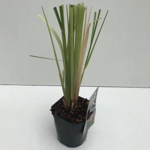 Pampasgras (Cortaderia selloana Rosea) siergras - In 2 liter pot - 1 stuks