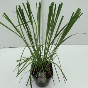 Pampasgras (Cortaderia selloana Rosea) siergras - In 5 liter pot - 1 stuks
