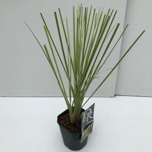 Dwergpampasgras (Cortaderia selloana Mini Gold Pampas) - In 2 liter pot - 1 stuks
