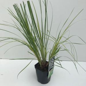 Dwergpampasgras (Cortaderia selloana Mini Pampas) siergras - In 2 liter pot - 1 stuks