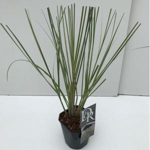 Dwergpampasgras (Cortaderia selloana Mini Silverpampas) siergras - In 2 liter pot - 1 stuks