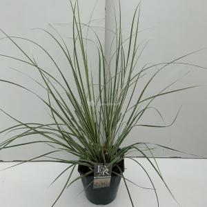 Dwergpampasgras (Cortaderia selloana Mini Silverpampas) siergras - In 5 liter pot - 1 stuks