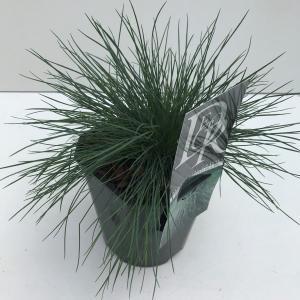Zwenkgras (Festuca glauca Elijah Blue) siergras - In 2 liter pot - 1 stuks