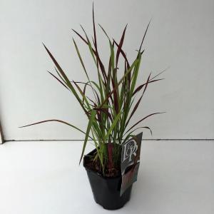 Japans bloedgras (Imperata cylindrica Red Baron) siergras