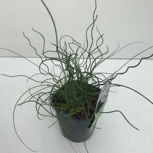 Krulpitrus (Juncus effusus Spiralis) siergras - In 2 liter pot - 1 stuks