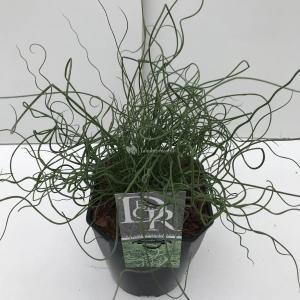 Krulpitrus (Juncus effusus Spiralis) siergras - In 5 liter pot - 1 stuks