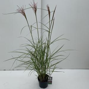 Prachtriet (Miscanthus sinensis Ferner Osten) siergras - In 3 liter pot - 1 stuks