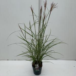 Prachtriet (Miscanthus sinensis Ferner Osten) siergras - In 5 liter pot - 1 stuks