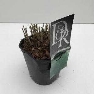 Prachtriet (Miscanthus sinensis Gracillimus) siergras - In 2 liter pot - 1 stuks