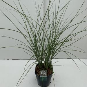Prachtriet (Miscanthus sinensis Gracillimus) siergras - In 5 liter pot - 1 stuks