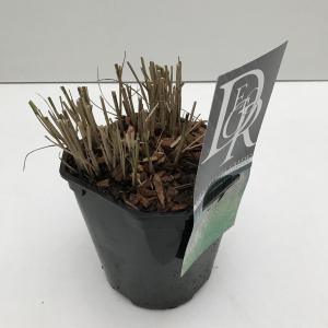 Prachtriet (Miscanthus sinensis Kleine Silberspinne) siergras - In 2 liter pot - 1 stuks