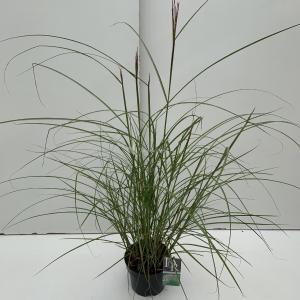 Prachtriet (Miscanthus sinensis Kleine Silberspinne) siergras - In 3 liter pot - 1 stuks