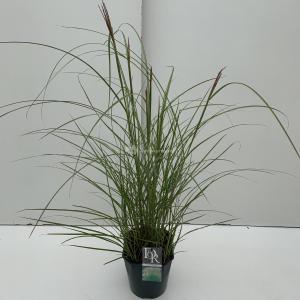 Prachtriet (Miscanthus sinensis Kleine Silberspinne) siergras - In 5 liter pot - 1 stuks
