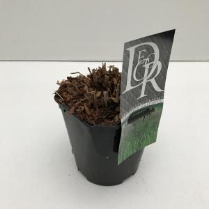 Prachtriet (Miscanthus sinensis Malepartus) siergras - In 2 liter pot - 1 stuks