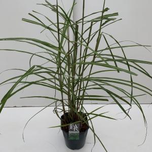 Prachtriet (Miscanthus sinensis Malepartus) siergras - In 5 liter pot - 1 stuks