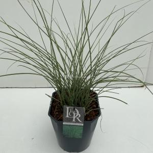 Prachtriet (Miscanthus sinensis Morning Light) siergras - In 5 liter pot - 1 stuks