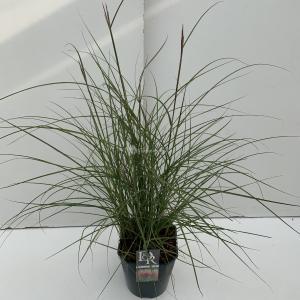 Prachtriet (Miscanthus sinensis Red Chief) siergras - In 5 liter pot - 1 stuks