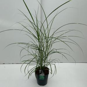 Prachtriet (Miscanthus sinensis Strictus) siergras - In 5 liter pot - 1 stuks