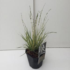 Bont pijpenstrootje (Molinia caerulea Variegata) siergras