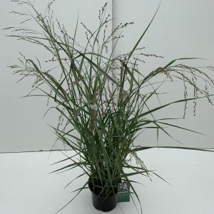 Vingergras (Panicum virgatum Prairie Sky) siergras - In 3 liter pot - 1 stuks