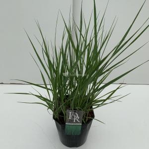 Vingergras (Panicum virgatum Prairie Sky) siergras - In 5 liter pot - 1 stuks