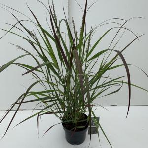 Vingergras (Panicum virgatum Squaw) siergras - In 3 liter pot - 1 stuks