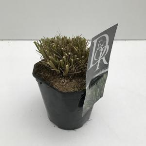 Lampenpoetsersgras (Pennisetum alopecuroides Hameln) siergras - In 2 liter pot - 1 stuks