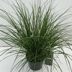 Lampenpoetsersgras (Pennisetum alopecuroides Hameln) siergras - In 3 liter pot - 1 stuks