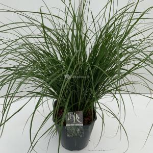 Lampenpoetsersgras (Pennisetum alopecuroides Hameln) siergras - In 5 liter pot - 1 stuks