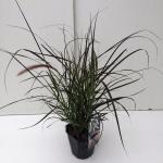 "Lampenpoetsersgras (Pennisetum setaceum ""Rubrum"") siergras"