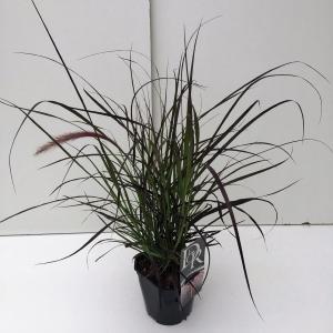 Lampenpoetsersgras (Pennisetum setaceum Rubrum) siergras - In 2 liter pot - 1 stuks