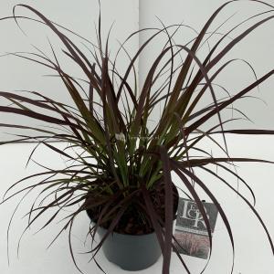 Lampenpoetsersgras (Pennisetum setaceum Rubrum) siergras - In 3 liter pot - 1 stuks