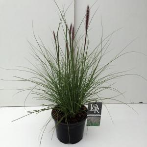 Lampenpoetsersgras (Pennisetum setaceum Rupelli) siergras