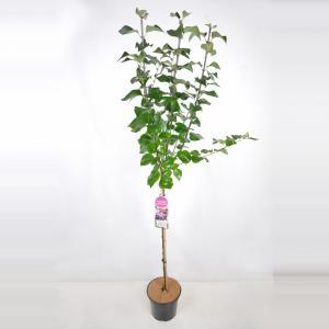 Sering op stam 85 cm (syringa vulgaris Michel Buchner)