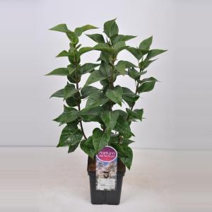Sering (syringa vulgaris Beauty of Moscow) - 50-70 cm - 1 stuks