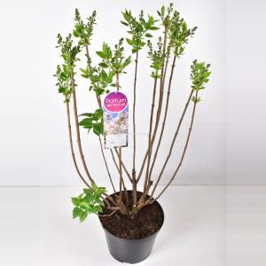Sering (syringa vulgaris Beauty of Moscow) - 90-120 cm - 1 stuks