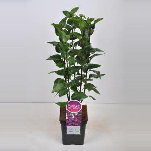 Sering (syringa vulgaris Charles Joly) - 50-70 cm - 1 stuks
