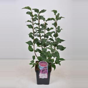 Sering (syringa vulgaris hyacinthflora Esther Staley) - 50-70 cm - 1 stuks