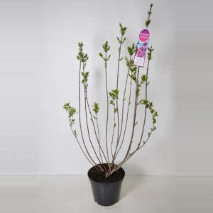 Sering (syringa vulgaris hyacinthflora Esther Staley) - 90-120 cm - 1 stuks