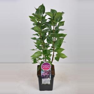 Sering (syringa vulgaris Michel Buchner) - 50-70 cm - 1 stuks