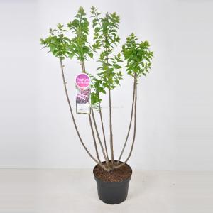 Sering (syringa vulgaris Michel Buchner) - 70-90 cm - 1 stuks