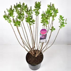 Sering (syringa vulgaris Michel Buchner) - 90-120 cm - 1 stuks