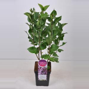Sering (syringa vulgaris Mme Antoine Buchner) - 50-70 cm - 1 stuks